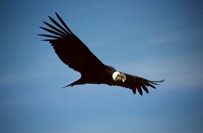 Colca Condor by Colegota