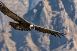 Andean Condor by National Geographic